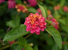Colorful. (natureflower) Tags: colorful flowers insect droplets raining after west indian lantana lantanacameral wild sage tickberry