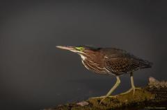 Green Heron (hey its k) Tags: 2018 birds greenheron grindstonemarsh hamilton heron nature valleyinnrd burlington ontario canada ca img6738e canon6d tamron 150600mm