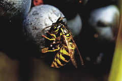 Lunch (herman hengelo) Tags: wasp grape druif wesp eating insect garden hengelo thenetherlands