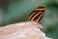 Butterfly in tropical zoo Berkenhof (Mariannevanderwesten) Tags: butterfly vlinder tropicalzoo zeeland nature natuur nikon