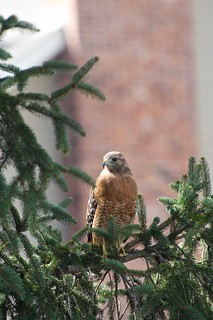 Red Shouldered Hawk, Buteo lineatus, MO, USA