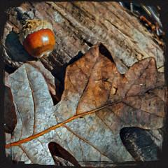 T 00084a Gambel Oak Acorn (edit.quill) Tags: acorn oak tree leaf ground autumn winter nature seasons