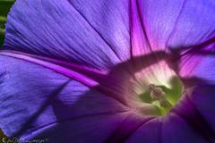Morning glow (Bill Bowman) Tags: morningglory ipomoeasp flower macro stamen backlighting
