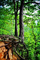 Roots (Jan Hovjacký) Tags: roots tree trees timber forest woods wood green outdoors canon