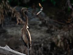 Wk 34 Technical The wild Side (Judy Sara11) Tags: bird karawari newguinea dogweed greatbilledheron dogwood2018 week34dogwood2018 honeyeater heron yellowfaced greatbilled animal