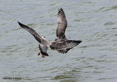 Gulls J78A0868 (M0JRA) Tags: birds gulls flight flying wildlife rats walks gardens parks fields trees lakes ponds ducks swans rspb