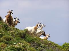 sehr neugierige Ziegen (naturgucker.de) Tags: ngidn1201506987 capraaegagrussubsphircus hausziege