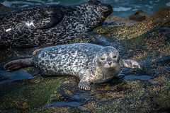 Young Harbor Seal (helenehoffman) Tags: pinniped california conservationstatusleastconcern commonseal mammal lajollacove harborseal seal animal sandiego marinemammal coth alittlebeauty fantasticnature coth5