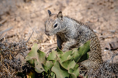 Beechy Squirrel (helenehoffman) Tags: californiagroundsquirrel beecheygroundsquirrel otospermophilusbeecheyi rodentia lajollacove animal sandiego mammal