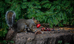 Strawberry Takeaway. (pitkin9) Tags: greysquirrel sciuruscarolinensis fruitassortment chosenstrawberry nature wildlife woodlands