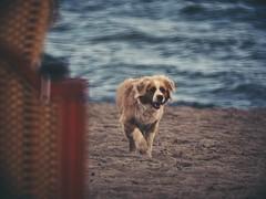 2018:08:26 17:02:37 - Dog Fun - Hundestrand - Ostsee - Schleswig-Holstein - Deutschland (torstenbehrens) Tags: hundestrand ostsee schleswigholstein deutschland olympus penf m42f8500mm zhongyi objektiv turbo ii efm43 wecellent m42ef adapter dog fun