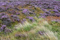 Heather (Bri_J) Tags: stanageedge peakdistrict nationalpark hathersage derbyshire uk countryside nikon d7200 heather flowers grass