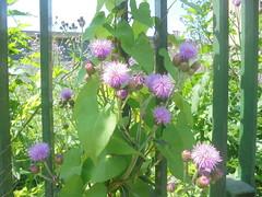 116 (en-ri) Tags: fiori flowers rosa sony sonysti grata foglie leaves