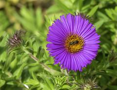 New England Aster & Sweat Bee (will139) Tags: newenglandaster wildflower symphyotrichumnovaeanglae asteraceae perennial flower growth beauty beautyinnature hairymichaelmasdaisy michaelmasdaisy sweatbee