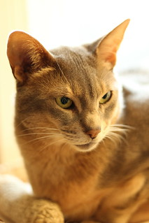Marco, Abyssinian Cat - IMG_5476