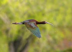 White-faced Ibis (Plegadis chihi) (fugle) Tags: ibis whitefacedibis virginialake reno washoeco nevada