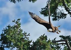 06 26 2017 Mm Freefall Moment (srypstra) Tags: baldeagle birdsinflight robertsbay sherirypstra