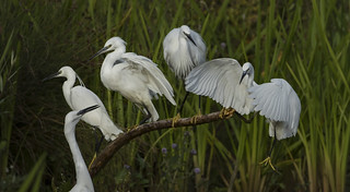 World record attempt at balancing 4 Egret's on a Kingfisher stick