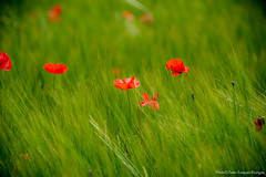 coquelicot6468 (jeanjacques.bourgois) Tags: coquelicot champs