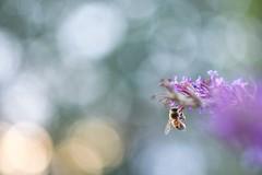 Bee (agnieszka.a.morawska) Tags: budlejadawida budleja garden helios44m helios macro dof beyondbokeh bkhq bokehlicious bokeh bee