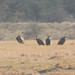 Gyps africanus (White-backed Vulture)