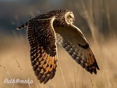 _Z2I6508-2 copy (markandruth.photos) Tags: owl short eared winter bird wildlife photography nature canon canonuk canonphotography cotswolds flight flying feathers prey