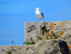 guard duty (Icanpaint1) Tags: seagull birds mainecoast wjtphotos nature