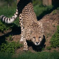 chasseur en position (rondoudou87) Tags: cheetah guépard guepard chasseur hunt hunter predateur predator pentax k1 parc park parcdureynou zoo reynou shadow ombre lumière light smcpda300mmf40edifsdm sauvage wildlife wild green grass herbe vert rondoudou87