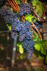 Clusters (FocusPocus Photography) Tags: trauben weintrauben reben grapes vines weinberg vineyard obst fruit reif ripe