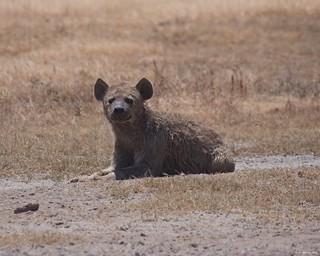 IMGP6272 Hyena Portrait