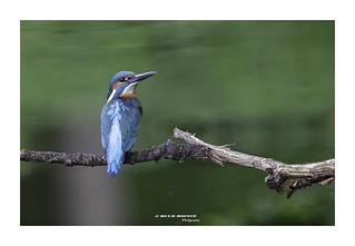 Ijsvogel, Common Kingfisher ♂