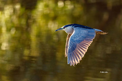 Night-heron (Mike Veltri) Tags: heron nightheron adult backlit wild burlington ontario