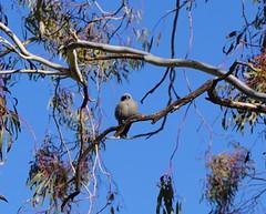 fluffy bird on dead branch (spelio) Tags: act canberra australia