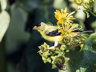 015A3761 American Goldfinch