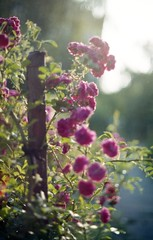 Blooming Thorns (Vakkor's Photostream) Tags: analog analogfilm film fujicolor expired expiredfilm c41 nature nikonf100 50mm 5014 35mm superia200