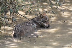Loup européen (Passion Animaux & Photos) Tags: loup europeen european wolf canis lupus