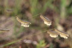 Hairy Grama Grass (corey.raimond) Tags: grama hairygrama grass poaceae prairie sandprairie dryprairie gramagrass hairygramagrass plant flora wisconsin boutelouahirsuta bouteloua hirsuta