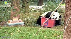 2018_08-22zr (gkoo19681) Tags: beibei chubbycubby fuzzywuzzy adorableears 3rdbirthday celebrating icecake presents squaretubby sugarcane apples nanner fullbelly resting sotired naptime beingadorable comfy justbecausehecan sohandsome perfection dozing tootired sillygoober treatcoma cakecoma passedout meltinghearts precious sohappy onapedestal toocute amazing toofunny birthdaywish ccncby nationalzoo