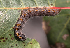 """""""Clostera pigra"""" - donkere wapendrager (bugman11) Tags: caterpillar caterpillars bug bugs insect insects fauna animal animals bloemendaal nederland thenetherlands nature leaf leaves canon 100mm28lmacro macro thegalaxy platinumheartaward"""