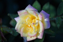 After the Rain (Anton Shomali - Thank you for over 1 million views) Tags: wet yellow rose with touch pink after rain aftertherain flower wetflower storm thunder summer hot drops raindrops nature backyard garden sony slta77v sonyslta77v