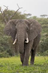 Bull Elephant (Hector16) Tags: ndutu wildebeestmigration eastafrica tanzania serengeti migration wildlife nature arusharegion tz