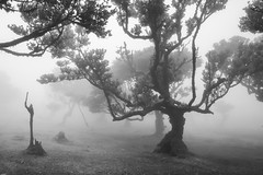 One Last Stand (RicardoPestana2012) Tags: fog mist forest bw monochrome mono fanal madeira madeiraisland til trees die standing up treesdiestandingup