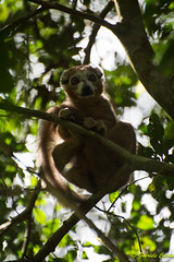 Lemur, Amber Mountain National Park, Madagascar (Gabriele Cardu) Tags: lemur madagascar amberforest