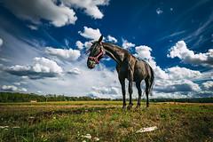 Black Horse (buchsammy) Tags: 2018 august benz himmel insel ostsee pferd sommer sonnenschein sony sonyalpha sonyalpha9 sonysel1670mmf4zaoss sonyphotography tier urlaub usedom wolken animal balticsea clouds deutschland germany horse sky wiese