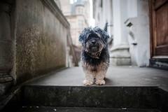 36/52 - City Boy (Kirstyxo) Tags: teddy cute dog cambridge city 3652 52weeksfordogs 52weeksfordogs2018 52weeksfordogs18