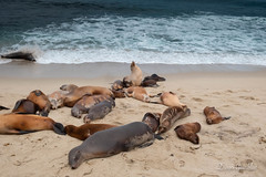 La Jolla - California (diegogrinblat) Tags: sea mar sky nature foca seal lobo marino jolla california