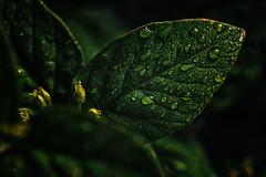 Green (anderswetterstam) Tags: leaves nature plants grass green rain drops wet droplets dark closeup