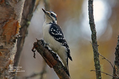 Hairy Woodpecker_4H4A2534 (bud_marschner) Tags: hairywoodpecker creamersfield fairbanksalaska