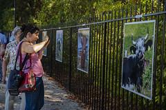 """Expo photos """"Les Souchard"""" (Pierre ESTEFFE Photo d'Art) Tags: expo exposition photo exterieur vache ruminent journaliste chambonlaforãªt loiret45 france chambonlaforêt"""