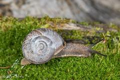 Sonorella sp. (aliceinwl1) Tags: az arizona arizona2018 gastropoda helicoidea helminthoglyptidae mollusca mountlemmon pimacounty sonorella landsnail locpublic native snail terrestrialsnail viseveryone